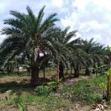 优质中东海枣2米高