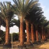 优质中东海枣4.5米高