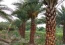 优质中东海枣2.5米高