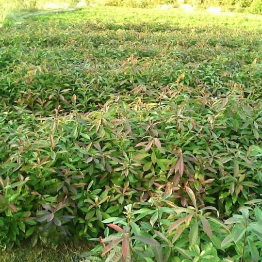 地徑2公分木荷小苗