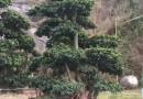 造型榕树,价格300