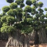 榕树桩3.5米高