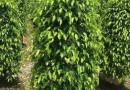 1.5米高优质垂叶榕