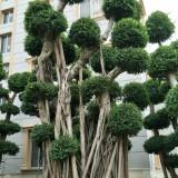 优质榕树桩9米高