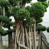 6米高优质造型榕树桩