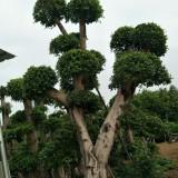 7米高优质造型榕树桩