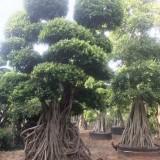5米高优质造型榕树桩