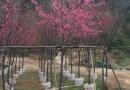 5-25公分福建山樱花