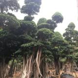 9米高优质造型榕树桩