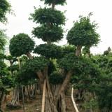 8米高优质造型榕树桩