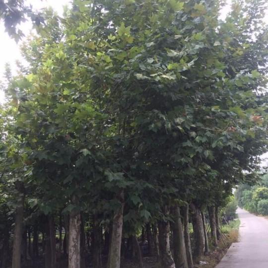 5米高泡桐價格450元 批發梧桐樹