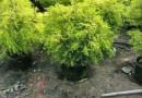 优质黄金宝树1米高