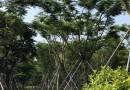 凤凰木3米高