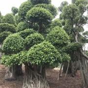 7米高榕树桩价格 福建哪里有卖榕树桩的