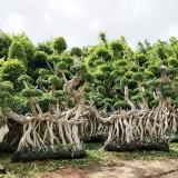 8米高榕树桩