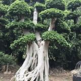3.5米高榕树桩