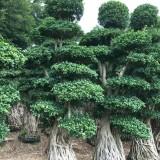 7米高榕树桩
