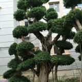 榕树桩5米高