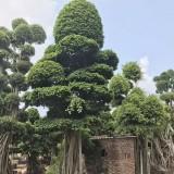 榕树桩8米高
