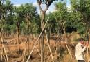 黄花槐6米高