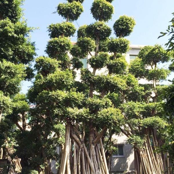 优质榕树桩3.5米高