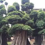 榕树桩6米高