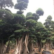 3.5米高优质榕树桩