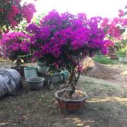 1.5米高云南紫三角梅