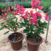 水红三角梅  红花三角梅盆苗  苗圃基地批发供应