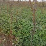 品种草莓苗