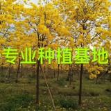 4米黄花风铃木