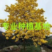 黄花风铃木价格