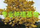 小苗三角梅