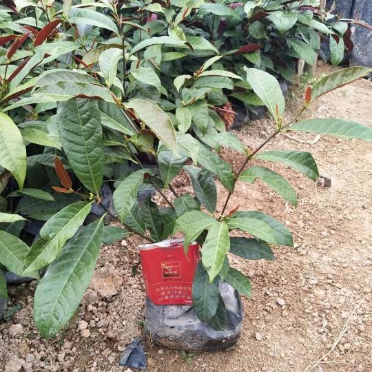紅背桂地被苗20公分高
