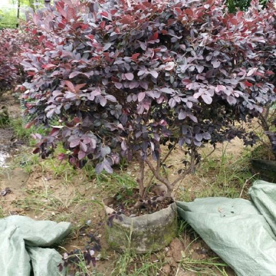 红花继木60公分高