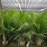 国王椰子盆景1米高