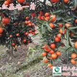 世纪红柑橘苗(优质)