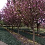 樱花3-18公分