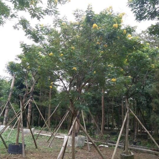黃花槐2米高