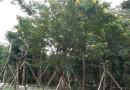 黄花槐2米高