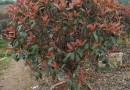 高1.5米红叶石楠球