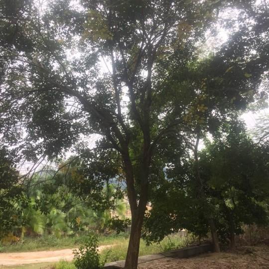 黃花風鈴木12到15公分