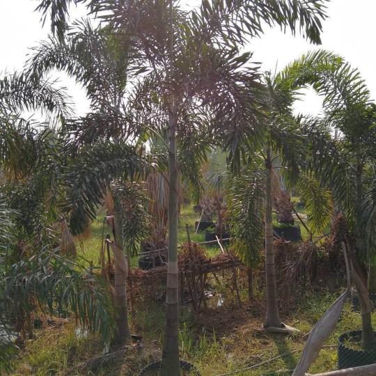 狐尾椰子7米高