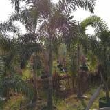 300公分狐尾椰子价格 重庆狐尾椰子基地