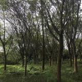 黄葛树6米高