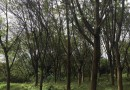 黃葛樹6米高