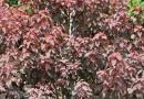 红叶乌桕2到2.5米高