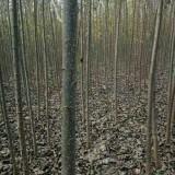 杨树苗4-6公分