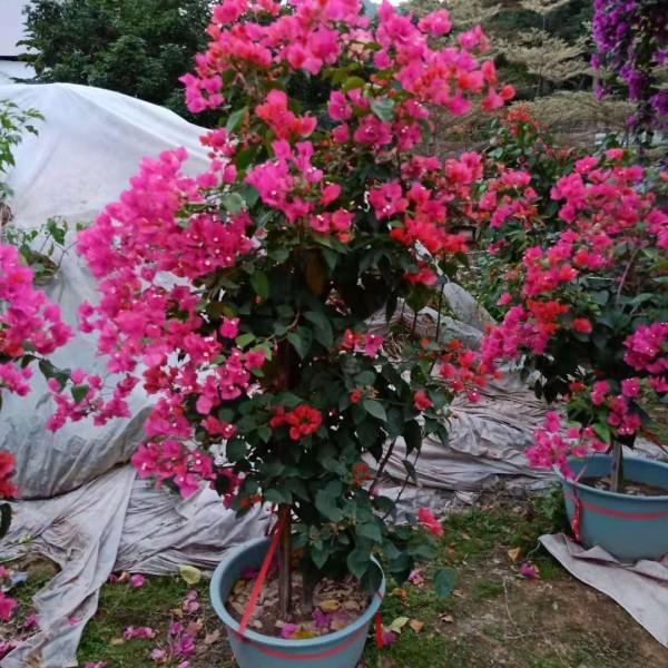 勒杜鹃 光叶子花 三角梅1.5米价格