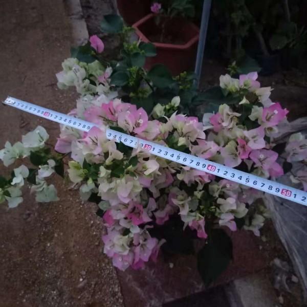 55公分高樱花三角梅多少钱 福建樱花三角梅